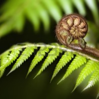 19928061-new-zealand-iconic-fern-koru